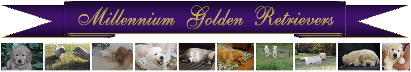 Millennium Golden Retrievers